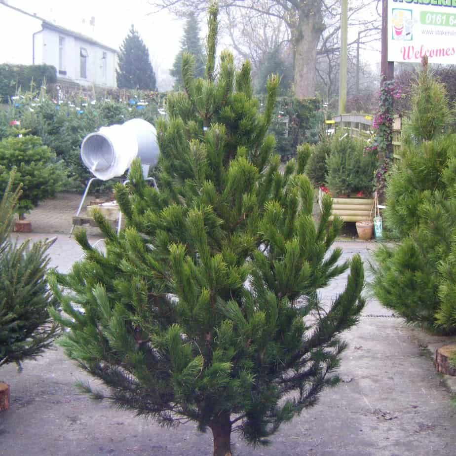 scotch pine christmas tree - Type Of Christmas Trees