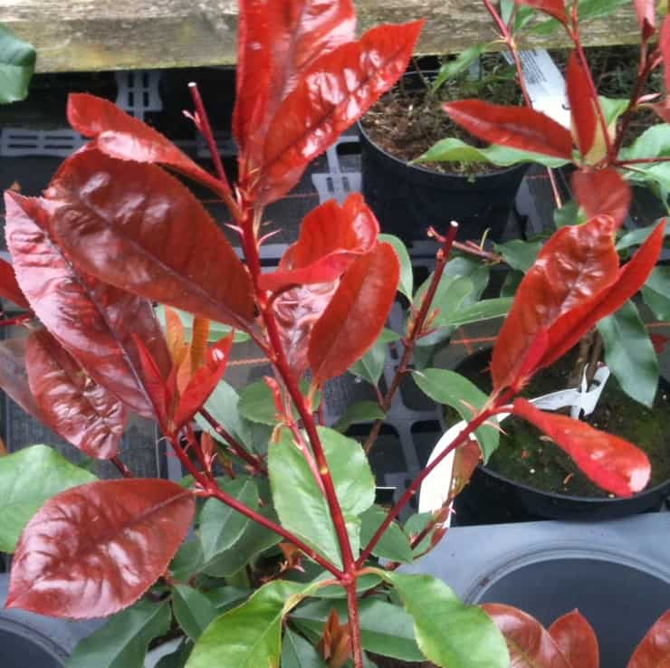 photinia red robin is a fast growing shrub