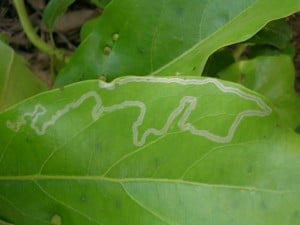 leaf miner which tunnel just under the service of leafs and later emerage to hatch into moths.