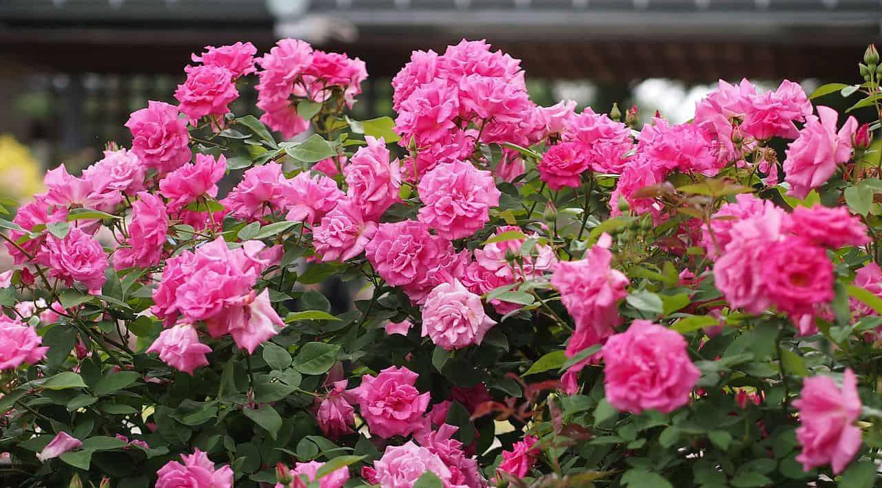 Established Danse du Feu Climbing Rose Plant Supplied in a 3 Litre Pot