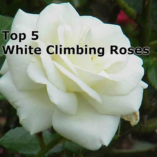 Top 5 white climbing roses