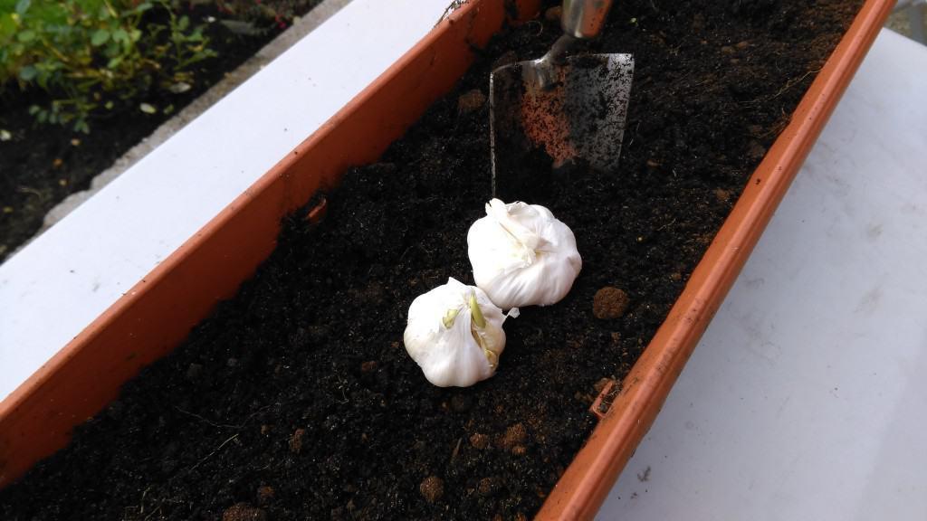 when to plant garlic