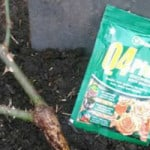 how to plant bare root rose