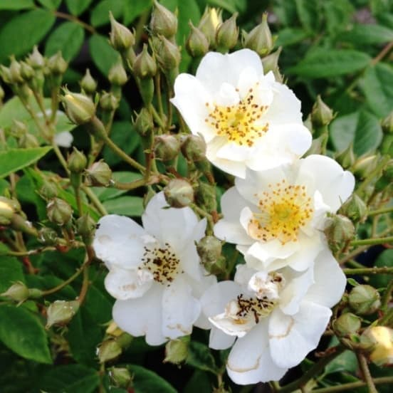 Wwedding Day white climbing rose is fragrant and grows very large to around 8 meters.