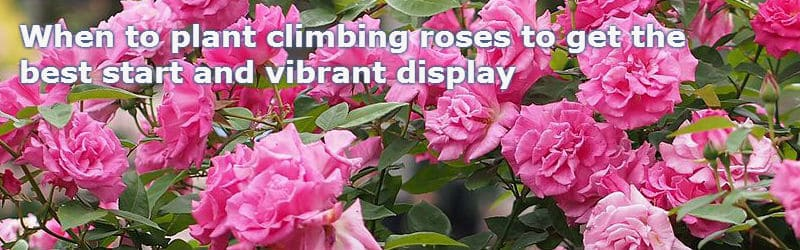 when to plant climbing roses