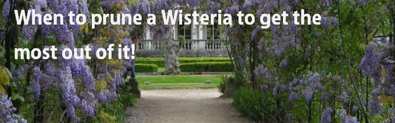 when to prune a wisteria