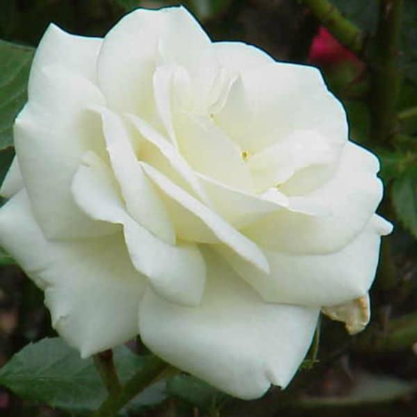 White cockade climbing rose