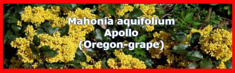 Mahonia aquifolium apollo flowers in spring