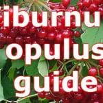 Viburnum opulus guide