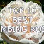 Top 10 Best climbing roses
