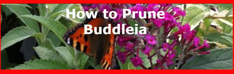 Pruning Buddleia correctly in spring and when not to prune