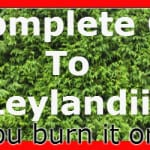 Leylandii guide, growing tips, propagation, plant hedge