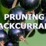 Pruning blackcurrant plants