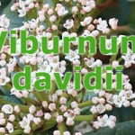 viburnum davidii planting tips