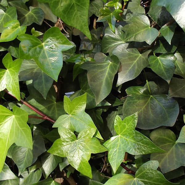 Hedera also known as ivy suitable for shady parts of the garden