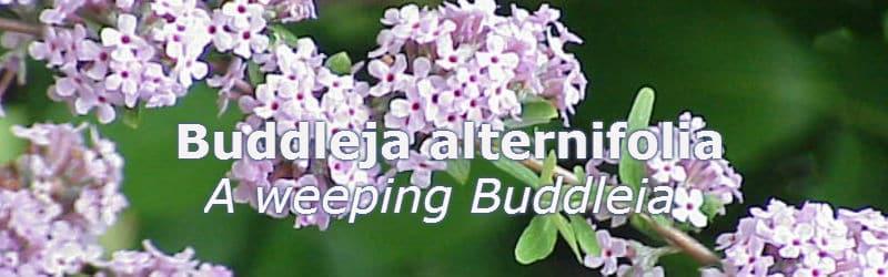 Buddleia alternifolia - weeping buddleia with scented flowers