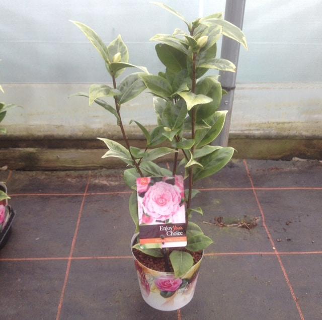 pot grown cammelias