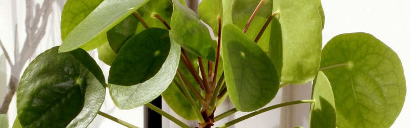 Information on the chinese money plant also known as Pilea peperomioides