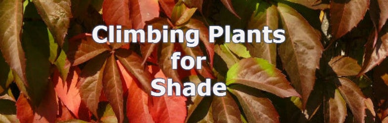 Climbing plants to brighten up that shady corner of the garden