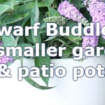 Dwarf Buddleia that include Buzz and Chip varieties that only grow to 3ft.
