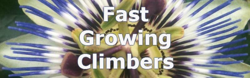 Fast growing climbers