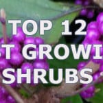 top 12 fast growing shrubs