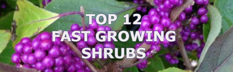 top 12 fast growing shrubs