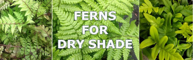 ferns for dry shade