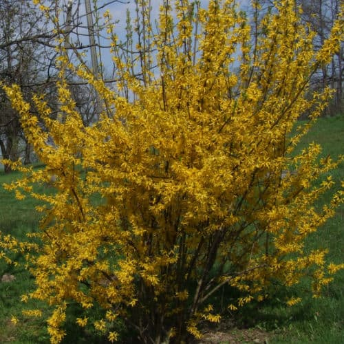 forsythia fast growing shrub which flower in spring