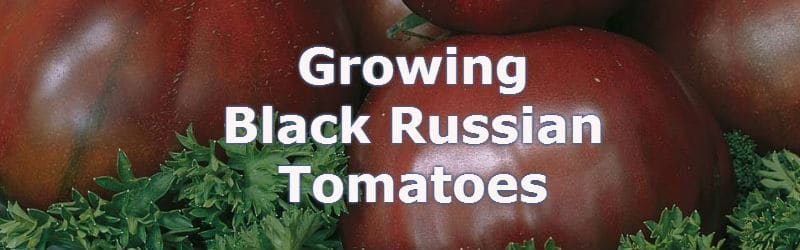 growing black russian tomatoes