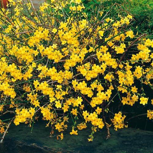 jasminum nudiflorium, winter flower for partial shade