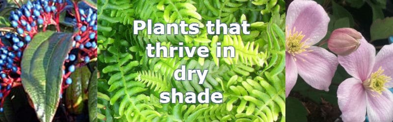 plants for dry shade