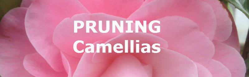 pruning camellias correctly