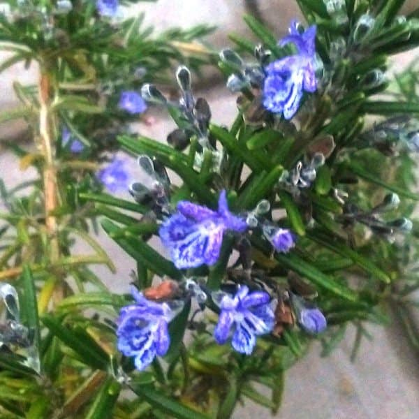 Pruning rosemary after flowering in summer