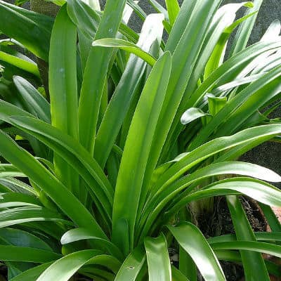Agapanthus Care Growing Tips Cultivation Promoting Flowers