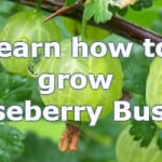growing gooseberries for bumper crops. how to grow this fruit bush
