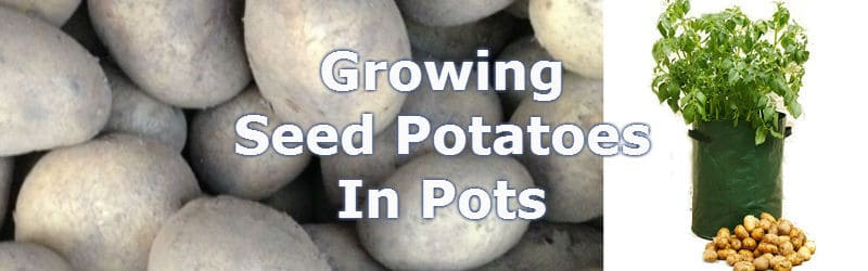 growing seed potaoes in pots