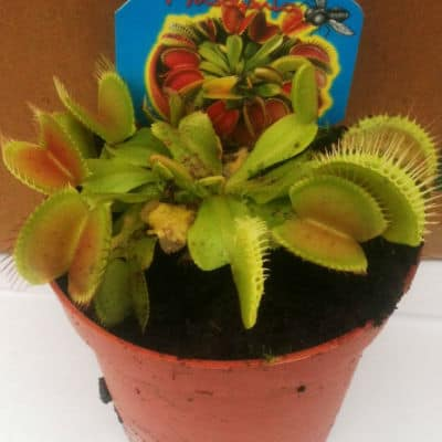 venus fly trap amazing facts