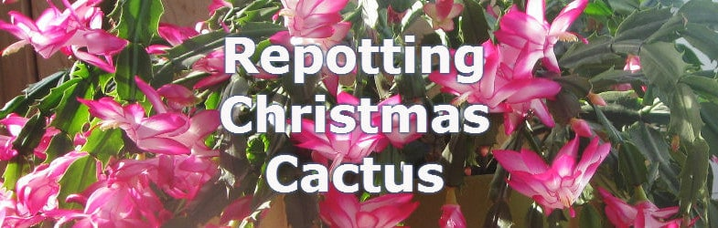 Repotting Christmas Cactus for improved growth and flowering