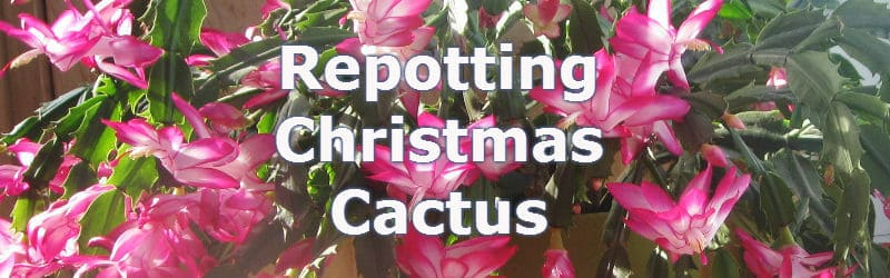 Repotting Christmas Cactus is done after flowering which is usually around January.