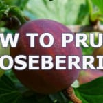 prune gooseberries helps promote more fruit and prevent diseases