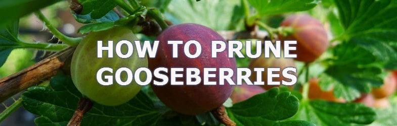 prune gooseberries helps promote more fruit and prevent diseases