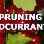 how to prune redcurrants