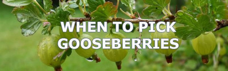 when to pick gooseberries, pick in June to thin and again a few weeks later