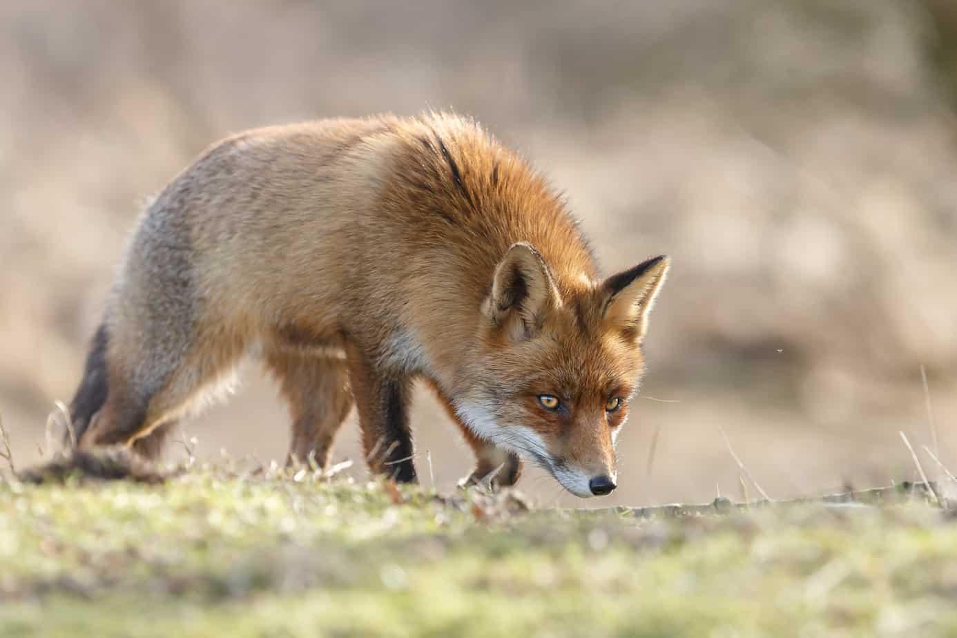 Fox Deterrent Strategies That Actually Work