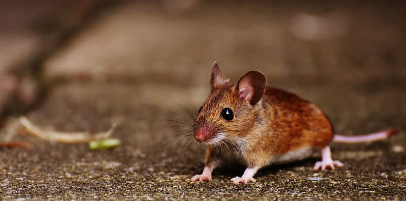 How to deter and repel mice