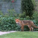 Want to know how to repel foxes, we spent days to find out, we found 5 of the best fox deterrents and repellents and backed them up with results. Read Reviews.