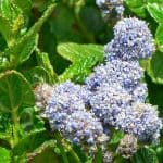 Grow Ceanothus - the complete guide