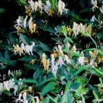 If you are interested in growing lonicera japonica, it is important to understand how to care for them. Honeysuckles are popular not just for their beautiful blooms but for the highly perfumed flowers they produce. The climbing varieties can be draped over garden support structures and pergolas while the shrubs make for great hedges. Quick Facts About lonicera periclymenum Common name Honeysuckle Botanical name Lonicera Type Shrubs and climbers Flowering time Shrubs flower at the end of winter, spring, or summer; climbers flower in summer Planting time Evergreens in spring or Autumn, deciduous in winter Sun Full sun or partial shade Hardiness Mostly fully hardly with certain tender species Types of Honeysuckle As mentioned, there are two types: climbers and shrubs. The climbers prefer humus rich soil that is moist at all times, but well drained. They will flower at optimum levels when their top growth is exposed to full sunlight but you can better protect them against aphids if they are planted in partial shade. The shrubs are less finicky about their soil and can grow in any well drained type. They will do well in partial shade or sun. Both varieties are simply to grow and will do better if you apply a base of mulch around them. This helps to maintain moisture at the root level. Pruning and Training Honeysuckles The methods you employ for pruning and training is going to vary based on type. For the climbers, the flowers arrive on the growth from the current season, which is especially true of lonicera japonica. So, they do not need regular pruning. You can, instead, just control their growth by removing any overly long shoots come spring time and thin out any congested parts. If there are any weak or diseased stems, these can be removed. The honeysuckles that flower at the beginning of spring do so on shorter, side shoots from the previous growth. This is true of the more common honeysuckle, the lonicera periclymenum. These need to be pruned by ? every summer, at t