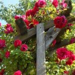 How to prune climbing roses